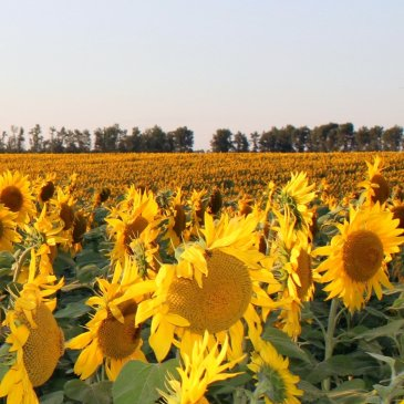 Arrange a family photo session in the sunflowers