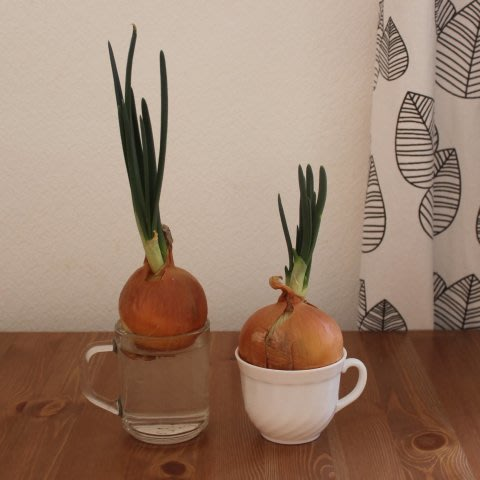Growing green onions at home with your kid