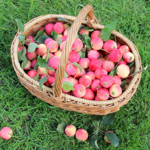 Pick apples with your kid