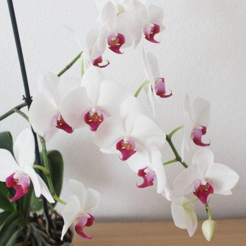 Картинка к занятию Вырастите орхидею  в Wachanga