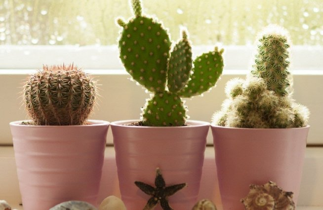 Займитесь выращиванием кактусов